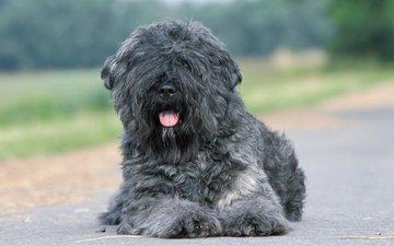 дорога, собака, лежит, серый, асфальт, язык, терьер