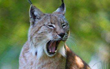 рысь, хищник, ушки, зевает, дикая кошка