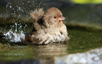 вода, брызги, птица, воробей, лужа, купается