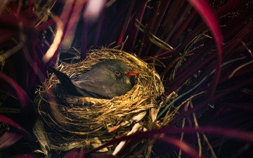 трава, птица, солома, гнездо, красный клюв