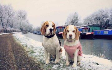 дорога, снег, зима, канал, собаки, собачки, обочина, бигль