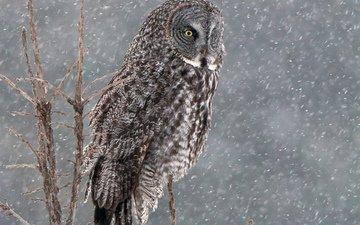 сова, снег, дерево, зима, птица, бородатая неясыть