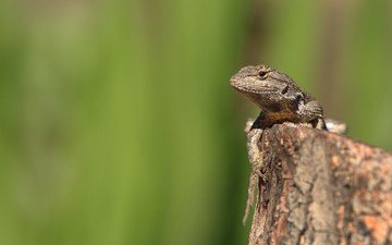 зелень, ящерица, камень, рептилия
