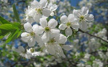 cvety, vetki, makro, zelen, belyj, becna