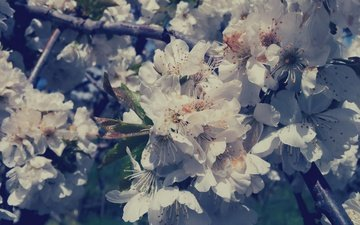 цветы, лепестки, сад, весна, белые, cvety, belye, sada