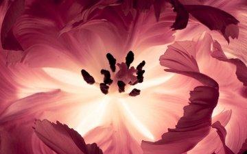 макро, цветок, лепестки, свечение, розовый, rozovyj, cvetok, makro, svechenie, iznutri, изнутри, леспестки