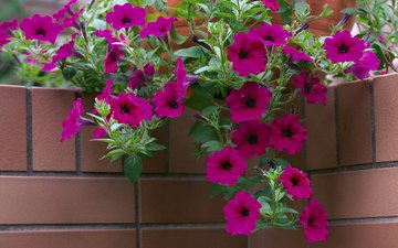 flowers, brick, angle, pot, cvety, kirpich, ugol, petuniya, gorshok, petunia
