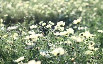 космея, cvety, belye, trava, svetlye, stebli, леспестки