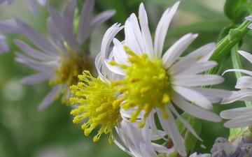cvety, belye, leto, polevye, vychurnye