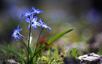 cvety, vesna, trava, zelen, sinie, pervocvet, zemlya, sve