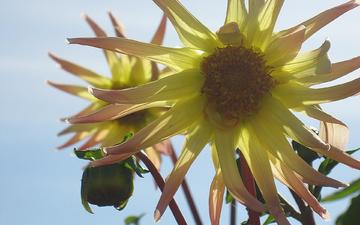 cvety, leto, nebo, zheltye, georginy, грустит