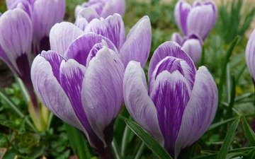 цветы, бутоны, весна, крупный план, первоцвет, крокусы, cvety, vesna, makro, butony, pervocvet, krokusy