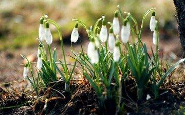 cvety, belye, trava, zemlya, podsnezhniki, pervocvety, l