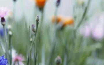 трава, бутоны, макро, поле, размытость, розовые, синие, полюс, васильки, оранжевые, цветочки, rozovye, sinie, oranzhevye, vasilki, cvetochki, bu