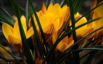 цветы, крокусы, крокус, cvety, priroda, krokusy