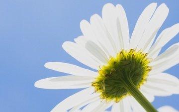 небо, цветок, лепестки, ромашка, стебель