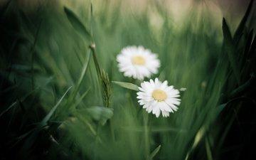 cvety, romashki, belye, trava, zelen, razmytos, леспестки