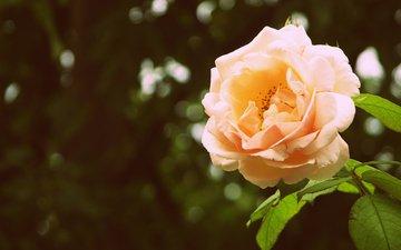 fon, cvetok, listya, buton, roza, zelen, bliki, леспестки