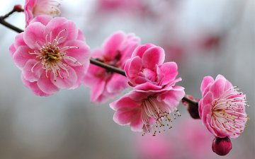 цветы, ветка, цветение, весна, розовый, вишня, сакура, cvety, butony, rozovye, vetka, yarkie, vetochk, леспестки