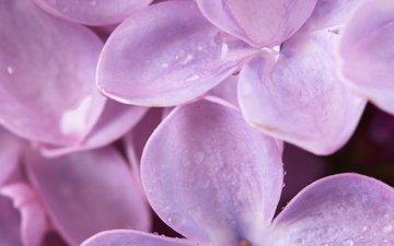 сирена, cvety, vesna, makro, priroda, леспестки