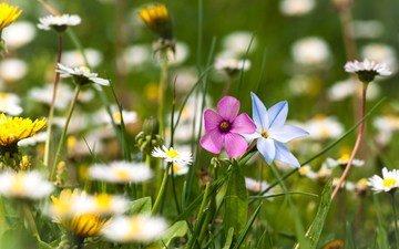cvety, romashki, trava, polyana, leto, rasteniya, zelen