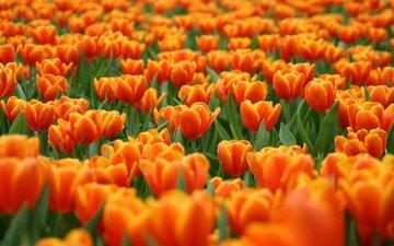 cvety, polyana, tyulpany, krasnye, oranzhevye