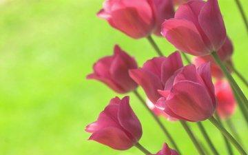 цветы, фон, ярко, весна, тюльпаны, салатовый