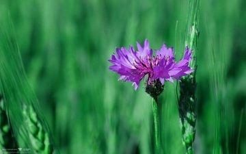 природа, макро, зеленый фон, василек
