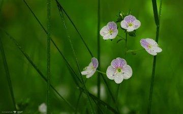 роса, cvety, kapli, veronika