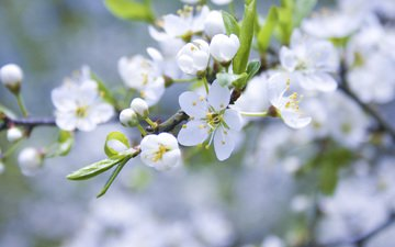 цветение, ветки, весна, яблоня, cvety, belye, yablonya, cvetenie, butony, vetk, леспестки