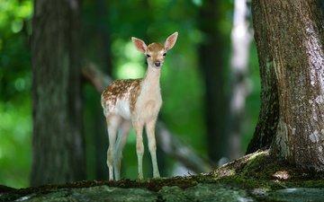свет, деревья, природа, лес, олень, животные, олененок