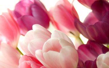 cvety, rozovyj, tyulpany, buket