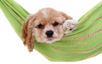 собака, щенок, отдых, гамак, кокер-спаниель