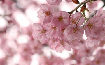 цветы, цветение, лепестки, весна, розовые, сакура, cvety, vesna, vetki, cvetenie, rozovye, леспестки