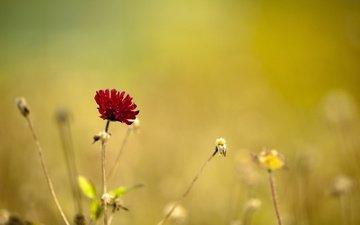 cvetok, makro, krasnyj, priroda, fokus