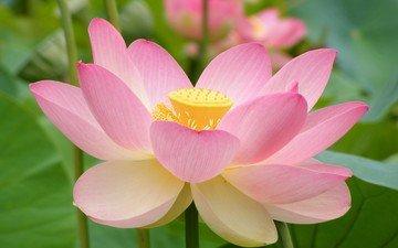 цветок, лилия
