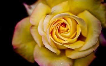 цветок, капли, роза, cvetok, makro, kapli, roza, voda, леспестки