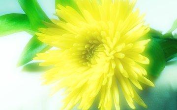 cvetok, zheltoj, xrizantemmy