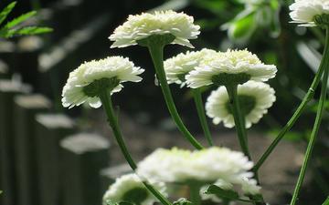 цветы, ромашки, белые, cvety, belye, moxrovye, peretrum, пиретрум