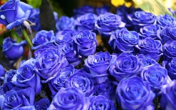 цветы, синий, цветок, розы, букет, голубые розы, синие розы