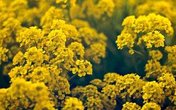 cvety, vesna, zhyoltye
