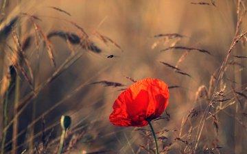 полюс, leto, mak, cvetok, priroda, vecher, koloski