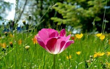 трава, природа, лес, фокус камеры, поляна, розовый, тюльпан