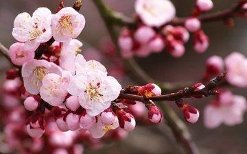 цветы, ветка, цветение, бутоны, лепестки, вишня, сакура, cvety, vishnya, cvetenie, butony, vetka, lepestk
