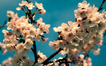 flowering, spring, cherry