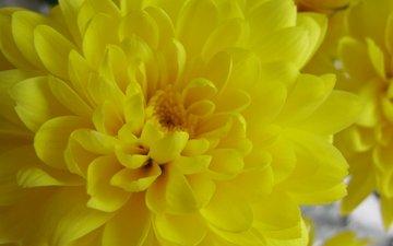 желтый, хризантема