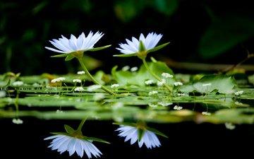 cvety, belye, nad vodnoj gladyu