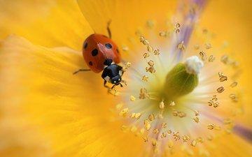beautiful flower, ladybug for your desktop