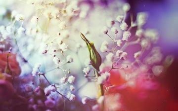 butony, rozy, cvet, belye cvety