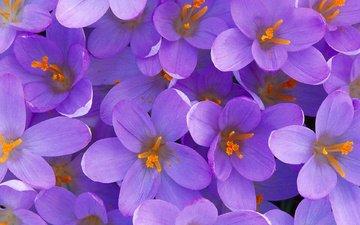 cvety, fioletovye, krasivye